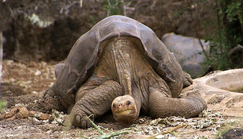 Lonesome_George_-Pinta_giant_tortoise_-Santa_Cruz