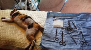 preparing_for_cat_spay